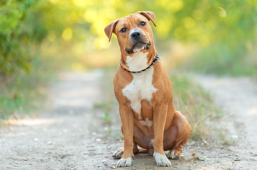 American stafford terrier, czyli amstaff amerykański i wszystko, co trzeba wiedzieć o jego charakterze