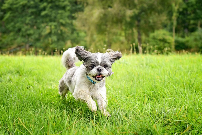 Pies rasy shih tzu biegający po zielonej trawie, a także charakter shih tzu i usposobienie