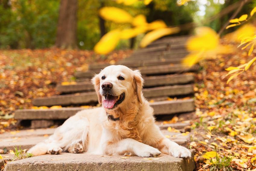 Pies rasy golden retriever odpoczywający na schodach w czasie spaceru, a także jego charakter