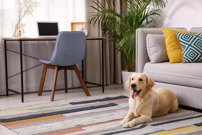 Pies golden retriever leżący na dywanie w salonie, a także charakter i usposobienie psa tej rasy
