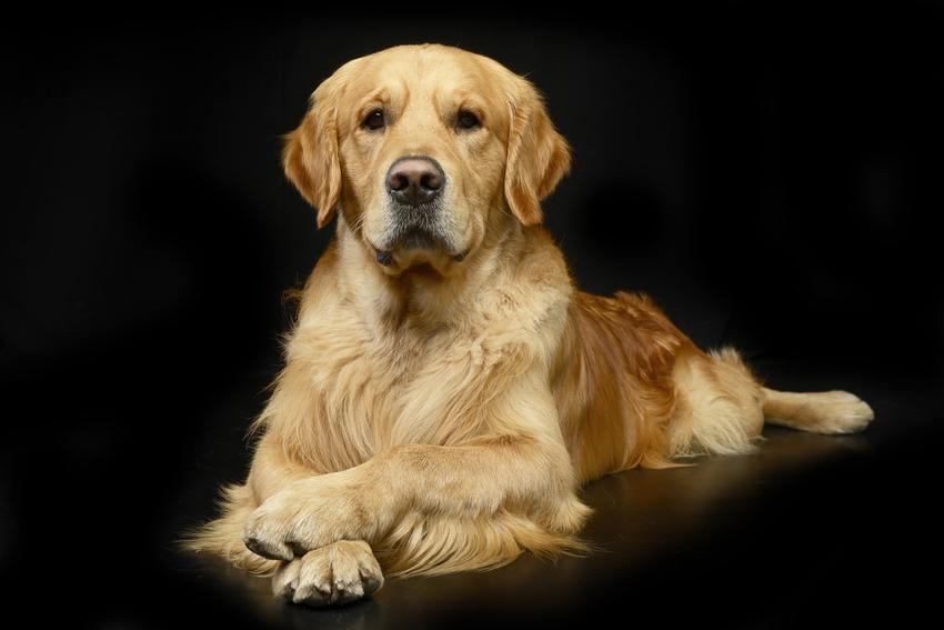Pies rasy golden retriever biszkoptowy na czarny tle oraz charakter i opis rasy