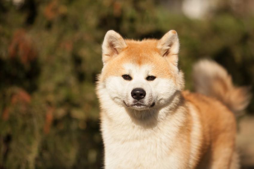 Pies rasy akita inu podczas spaceru w parku, a także inne japońskie rasy psów