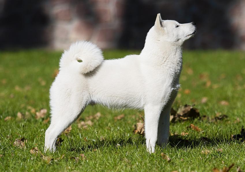 Pies rasy hokkaido japoński biały stojący na trawniku oraz inne japońskie rasy psów
