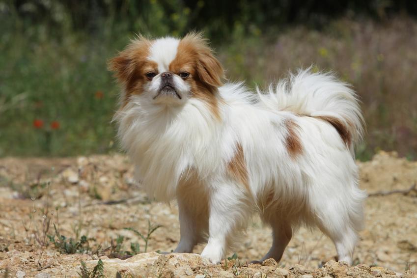 Niewielki japoński pies rasy japan chin, a także najpopularniejsze japońskie rasy psów