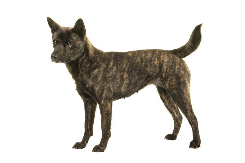 Pies rasy kai japoński na białym tle oraz inne popularne japońskie rasy psów