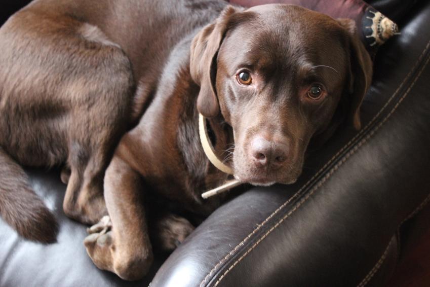 Labrador czekoladowy leżący na skórzanej sofie, a także brązowy retriever i jego charakter