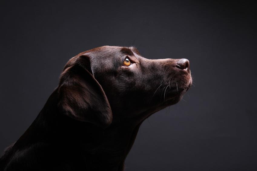 Labrador czekoladowy na ciemnym tle, a także brązowy retriever i jego charakter