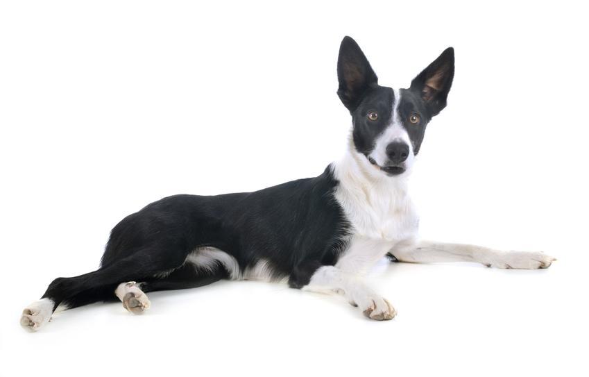 Pies rasy border collie leżący na białym tle, a także najdroższe rasy psów w Polsce