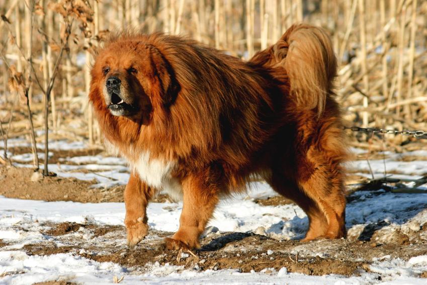 Pies rasy masif tybetański podczas spaceru na tle ziemi i śniegu, a także najdroższe rasy psów w Polsce