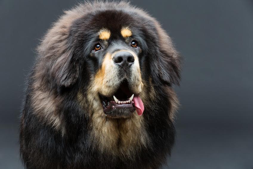 Pies rasy masif tybetański podczas spaceru na tle trawy, a także najdroższe rasy psów w Polsce