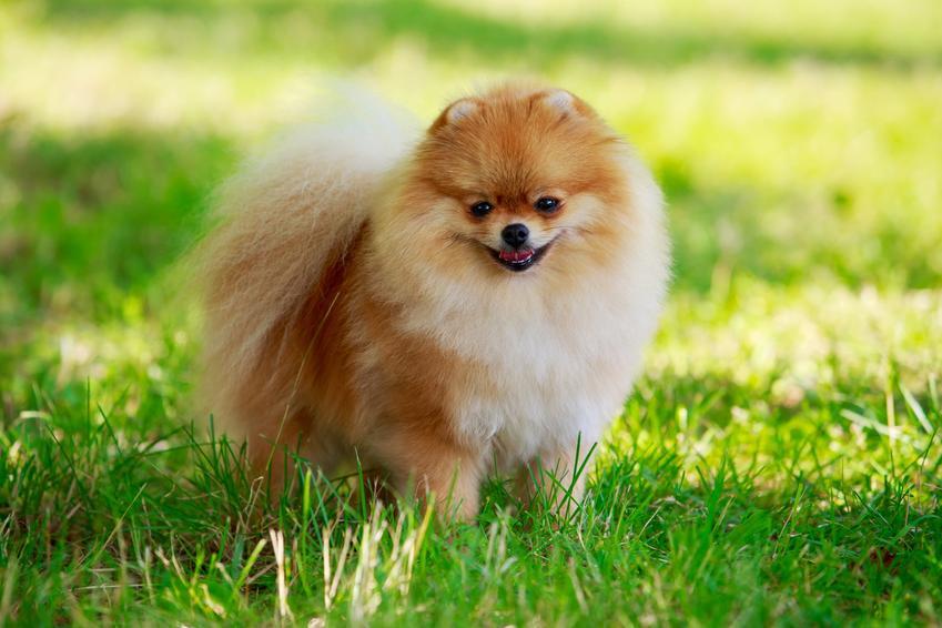 Pies rasy szpic miniaturowy pomeranian podczas spaceru na tle trawy, a także najdroższe rasy psów w Polsce