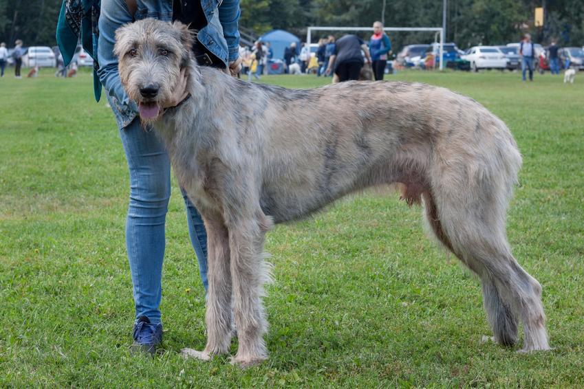 Pies rasy wilczarz irlandzki podczas spaceru na tle trawy, a także najdroższe rasy psów w Polsce