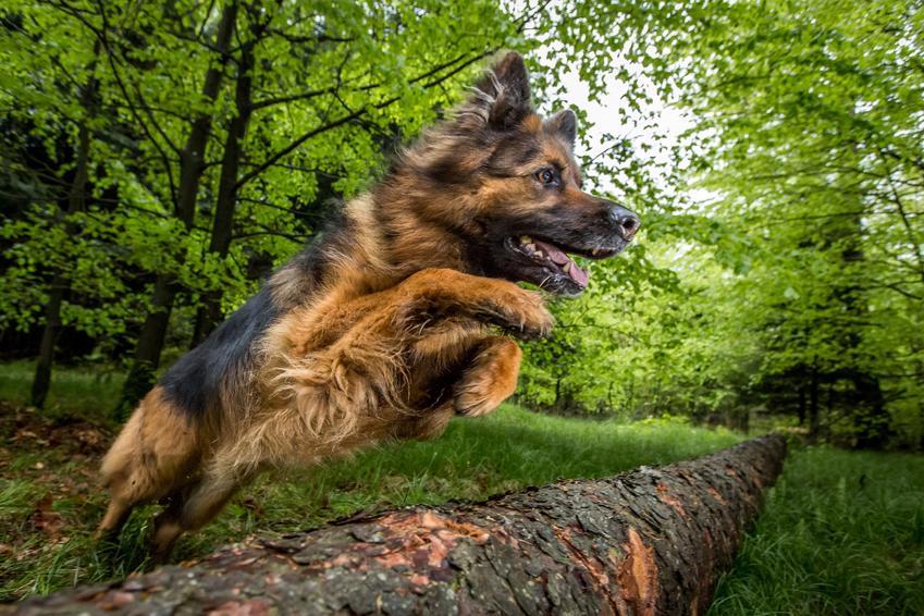 Owczarek niemiecki przeskakujący przeszkodę w lesie, a także jego charakter i usposobienie