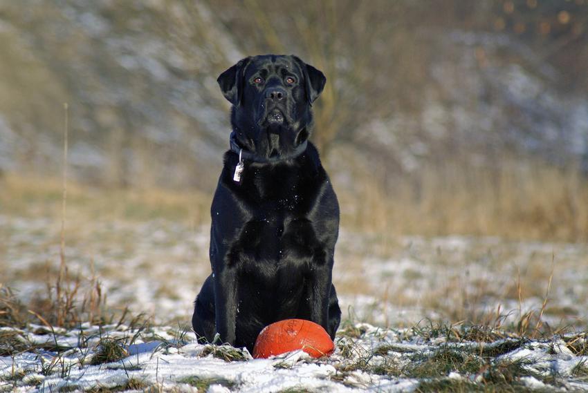 Czarny duży pies warujący z pomarańczową piłką, a także tresura psa w domu i tresura szczeniaka