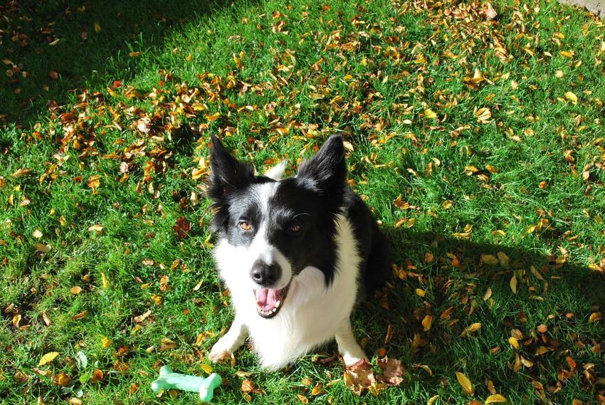 Pies rasy border collie z zieloną zabawką siedzący na trawie, a także tresura psa w domu i wychowanie psa