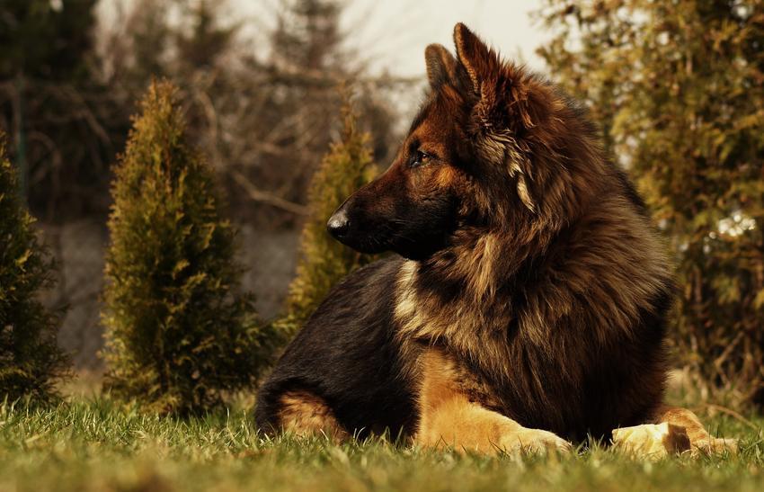 Owczarek niemiecki leżący na trawie na tle drzew, a także wilczur i jego usposobienie