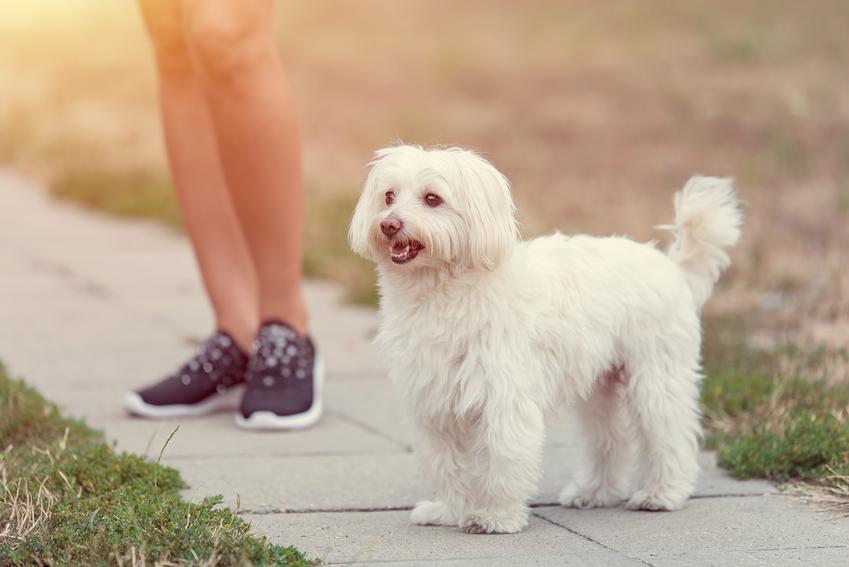 Pies rasy bolończyk z profilu na tle nóg swojej pani, a także popularne rasy psów włoskich