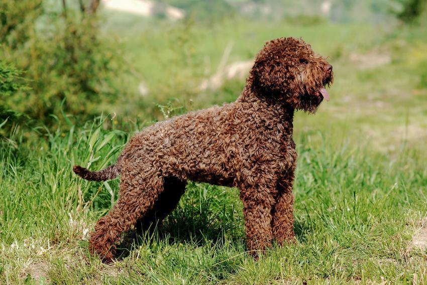 Pies rasy lagatto romagnolo z profilu na tle trawy, a także popularne rasy psów włoskich