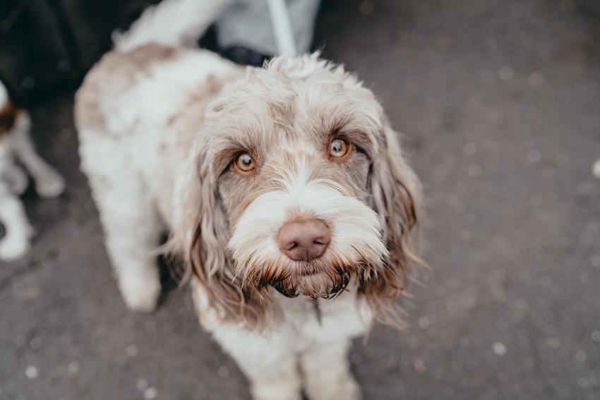 Pies rasy wyżeł włoski patrzący w obiektyw na tle trawy, a także popularne rasy psów włoskich