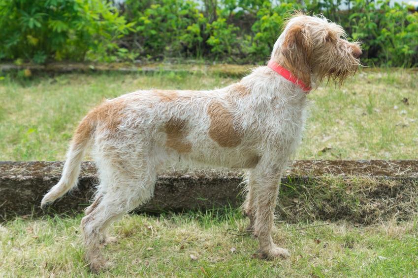 Pies rasy wyżeł włoski z profilu na tle trawy, a także popularne rasy psów włoskich