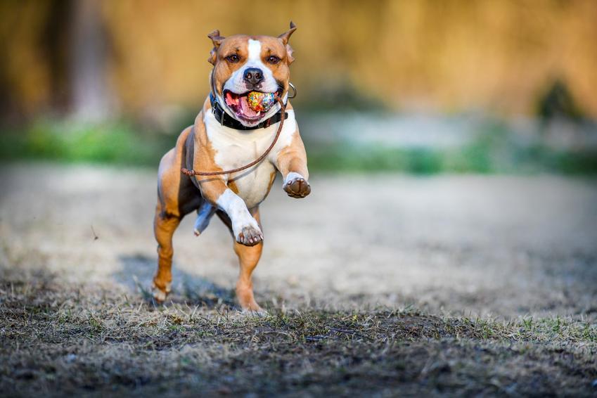 Amstaffy to psy które uchodzą za agresywne, dlatego tak ważne jest ich odpowiednie wychowanie. Zobacz, jak wygląda wychowanie amstaffa i jak przebiega jego tresura oraz jak szkolić psy rasy amstaff.