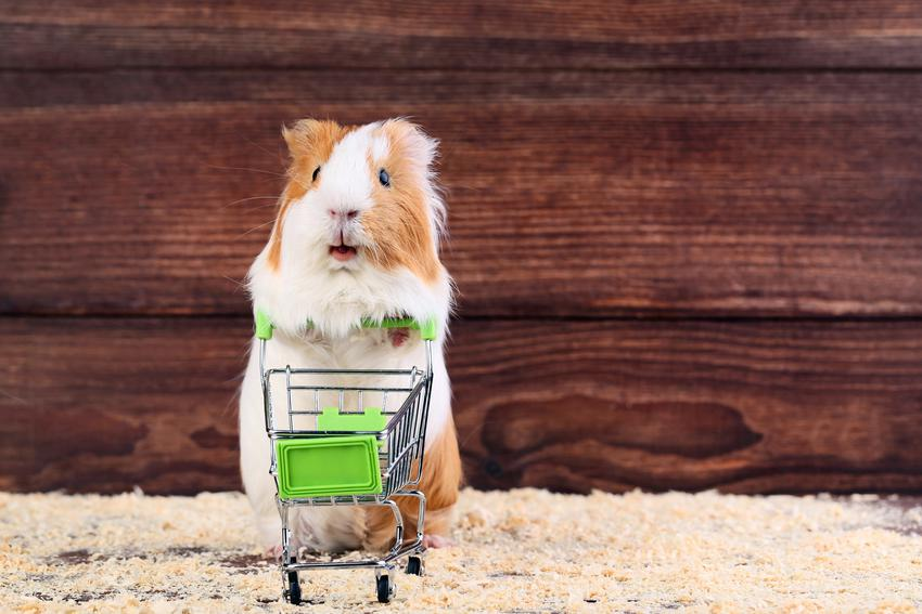Świnka morska z małym wózkiem zakupowym, a także ubranka i akcesoria dla świnki morskiej