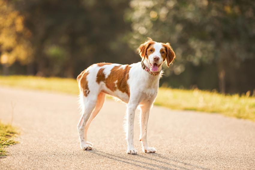 Pies rasy spaniel bretoński stojący na drodze podczas spaceru, a także jego hodowla w Polsce i opinie