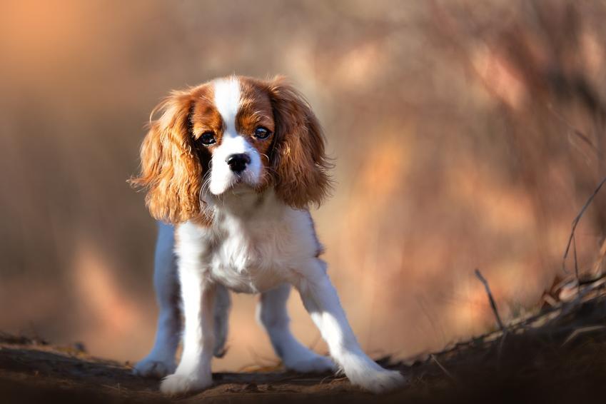 Pies rasy cavalier spaniel podczas spaceru w lesie, a także jego charakter i usposobienie