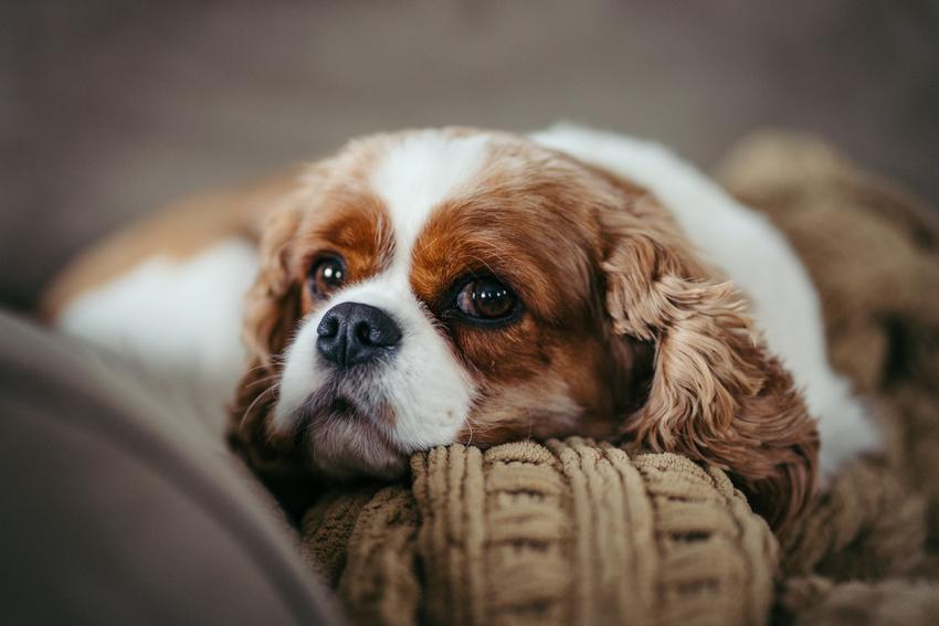 Pies rasy cavalier spaniel leżący na sofie, a także jego wychowanie, opinie i cena