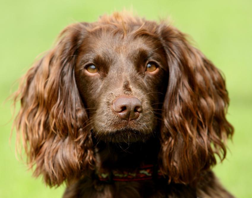 Pies rasy field spaniel na zielonym tle oraz jego charakter, usposobienie i cena za szczeniaki