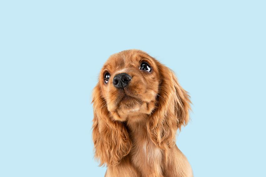 Pies rasy cocker spaniel na niebieskim tle, a także szczeniaki cocker spaniela i ich wychowanie