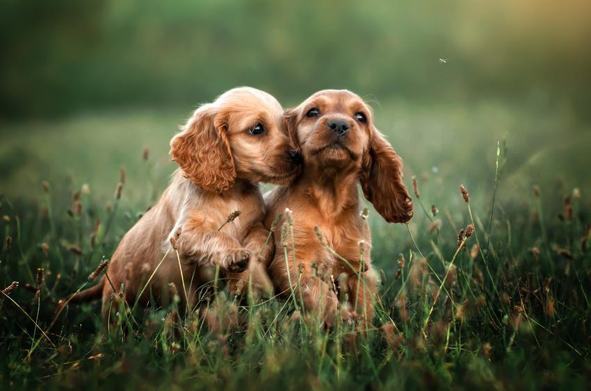 Dwa szczeniaki cocker spaniela bawiące się w trawie, a także ich wychowanie i cena