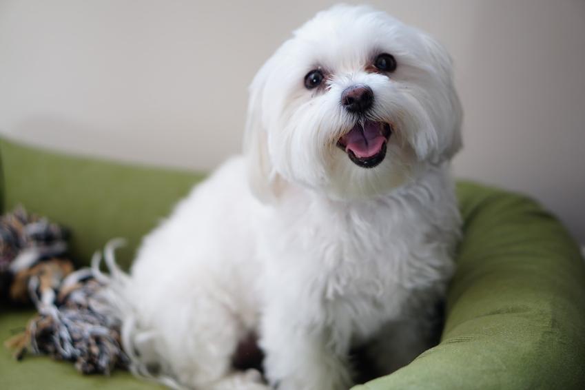 Maltańczyk biały w legowisku dla psa, czyli szczeniak maltańczyka a dorosły maltańczyk