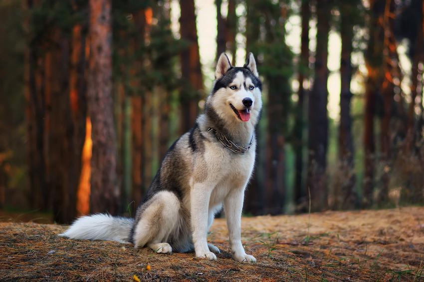 Pies rasy husky siedzący na polanie w lesie w czasie spaceru, a także charakter husky