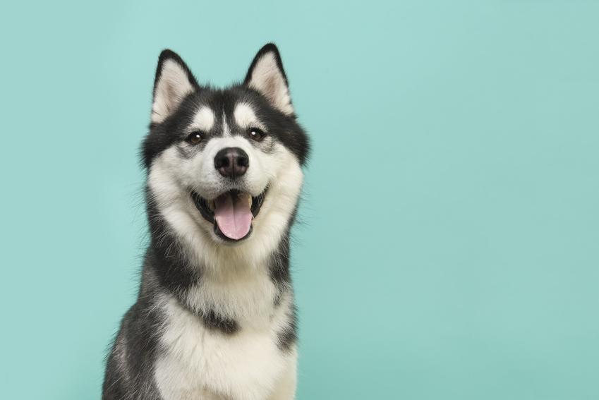 Pies rasy husky z uśmiechem na niebieskim tle oraz informacje, jaki jest charakter husky