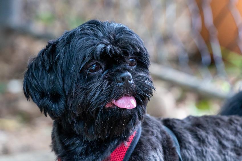 Pes rasy czarny shih tzu w czasie spaceru, a także biało czarny shih tzu, czyli umaszczenie shih tzu