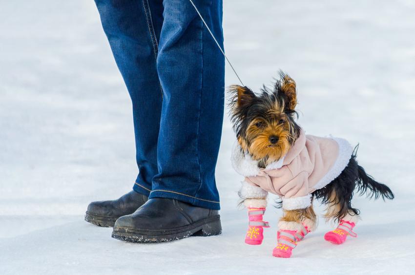 Pies rasy york na śniegu w bucikach, a także polecane buty dla yroka na lato i zimę
