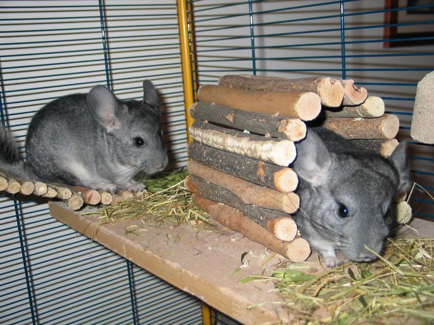 Szynszyle siedzące w klatce z domkiem drewnianym, a także polecana klatka dla szynszyla