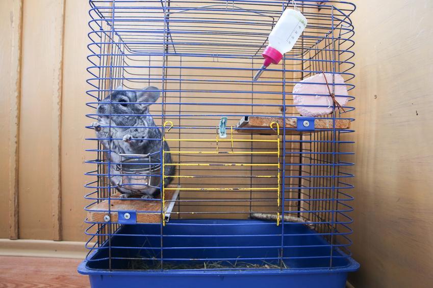 Szynszyl siedzący w klatce z wyposażeniem, czyli polecana klatka dla szynszyla