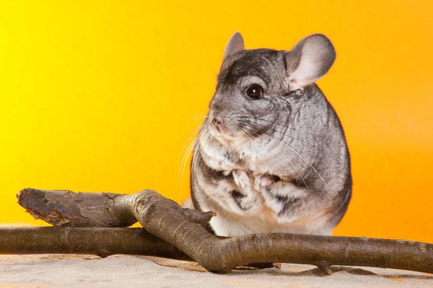 Szynszyl siedzący na żółtym tle, a także porady, jak hodować szynszyle w domu