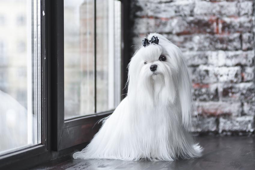 Maltańczyk z bardzo długimi włosami oraz porady, jak obciąć maltańczyka i fryzura dla psa tej rasy