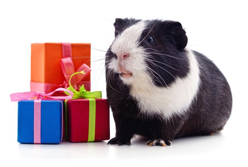 Świnka morska z kolorowymi prezentami na białym tle, a także zabawki dla świnki morskiej