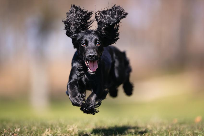 Pies rasy czarny cocker spaniel biegający po trawie podczas spaceru, a także jego charakter i wychowanie