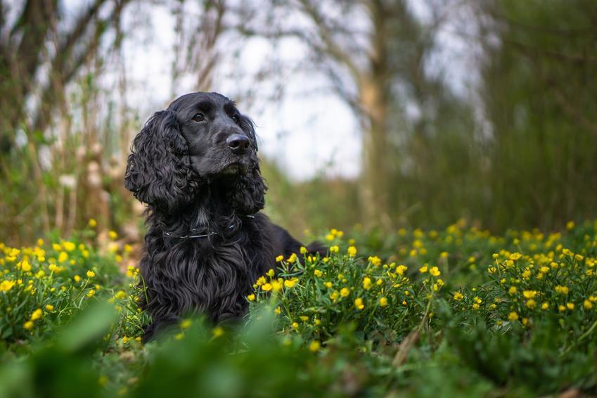 Pies rasy czarny cocker spaniel siedzący na trawie w żółtych kwiatach, a także jego charakter i usposobienie