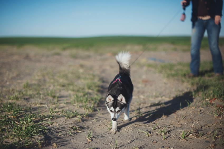 Pies rasy husky podczas spaceru na smyczy z właścicielem, a także informacje o husky miniaturka