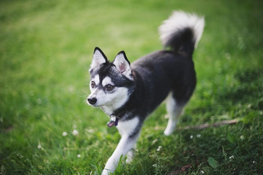 Pies rasy husky specerujący po trawie, a także husky miniaturka krok po kroku