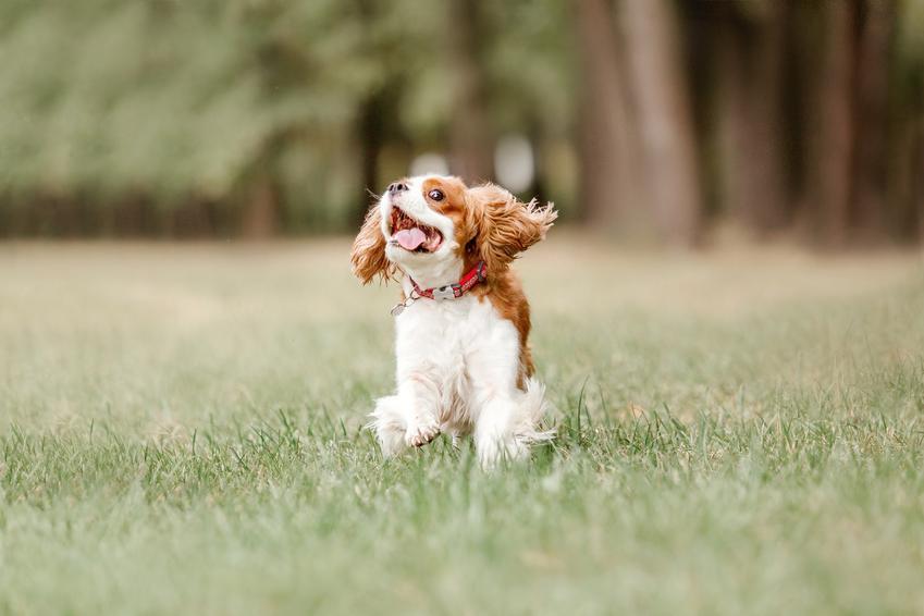 Pies rasy cavalier king charles spaniel siedzący na trawie, a także cena cavalier king charles spaniela