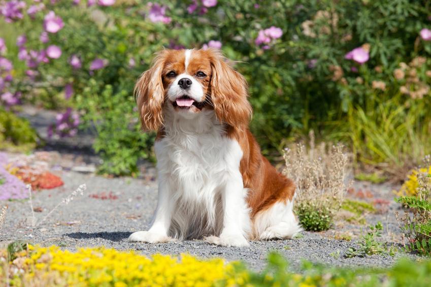 Pies rasy cavalier king charles spaniel siedzący w ogrodzie wśród kwiatów, a także cena cavalier king charles spaniela