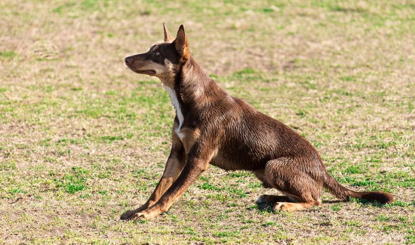 Pies rasy owczarek australijski kelpie siedzący na trawie, a także jego opis i usposobienie