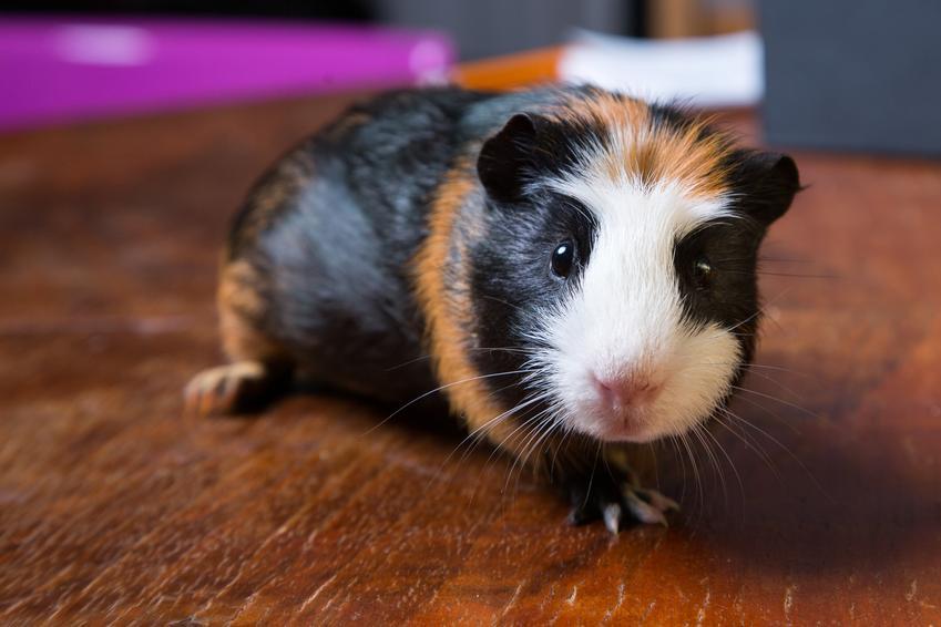 Świnka morska na drewnianej podłodze, a także ile kosztuje świnka morska
